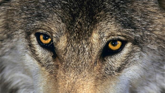 ROA rivista online avanguardia racconto raccontare lupo grigio ospite inatteso